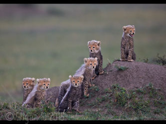 Six Cheetah Cubs Looking Out by Austin Thomas