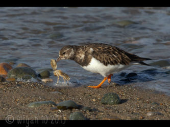 Turnstone with Crab by Ed Roper