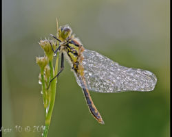 Four Spotted Chaser 14 by Chris Hague - Photography