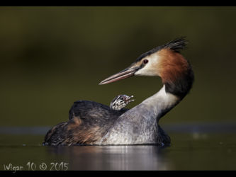 Great Crested Grebe with Chick by Austin Thomas