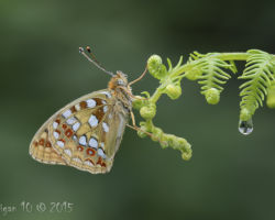High Brown Fritillary by Chris Hague - Photography Club