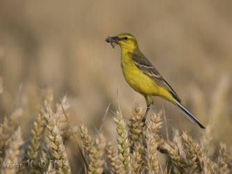 Yellow Wagtail by Roy Rimmer