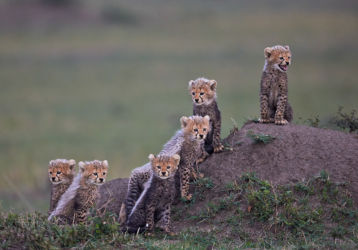 Austin - Six Cheetah Cubs looking out