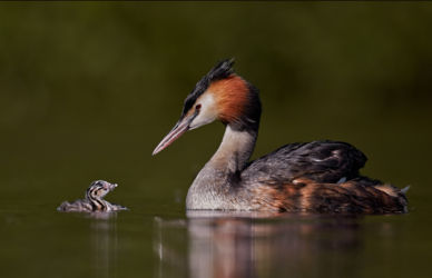 Austin_Great Crested Grebe and chick