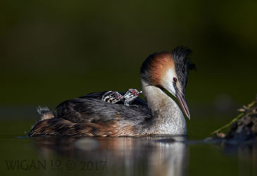 Austin_Great Crested Grebe with chicks
