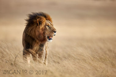 Lion Standing in Grasses by Austin Thomas