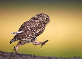 Austin_Little Owl running with a loose feather