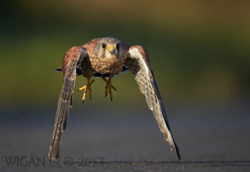 Male Kestrel Flying by Austin Thomas