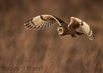 Austin_Short Eared Owl hunting in a meadow