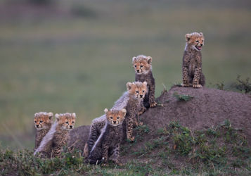 Six Cheetah Cubs by Austin Thomas