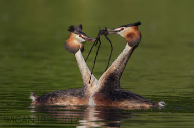 Ed_Great Crested Grebes performing Weed Dance