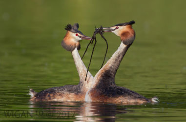 Grebes Performing the Weed Dance by Ed Roper