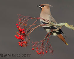 Waxwing on Rowan by Ed Roper