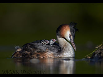Great Crested Grebes by Their Nest by Austin Thomas
