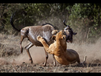 Lion and Wildebeest by Austin Thomas