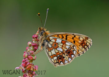 Small Pearl Bordered Fritillary by Chris Hague