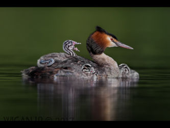 Great Crested Grebe with Chicks by Damian Black