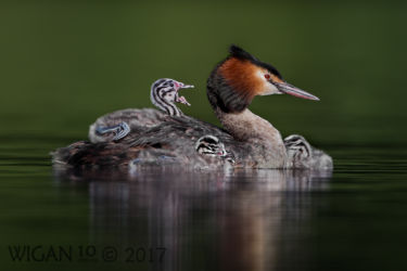 Great Crested Grebes with Chicks by Damian Black