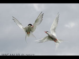 Arctic Terns by Ed Roper
