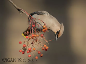 Waxwing on Rowan Bush by Phil Barber