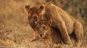 Kenyan Cubs at Play