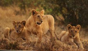 Mara Lion Cubs