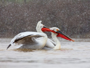 Damatian Pelican Snow Fight by Damian Black
