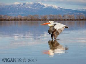 Dalmation Pelican Skimming Lake by Robert Millin