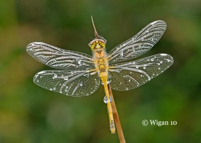 Black Darter in rain