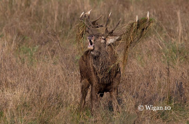 Red Deer Stag bellowing by Ed Roper
